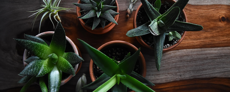 desk succulents.jpg