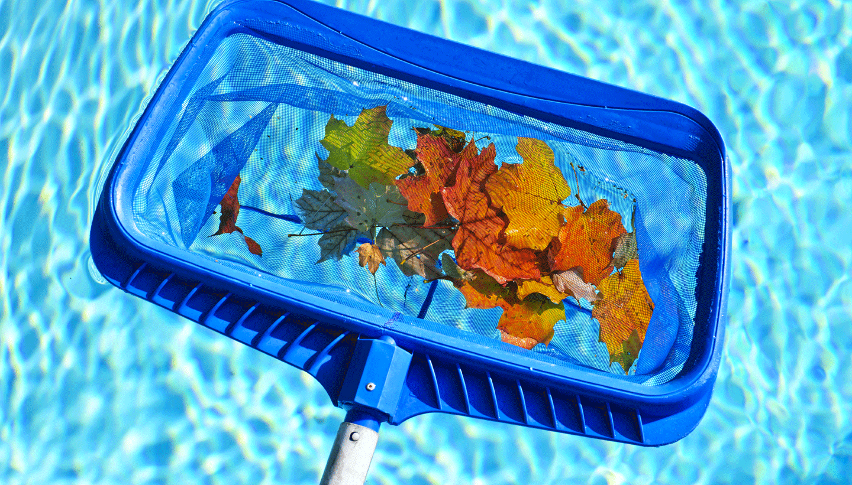 Blue leaf skimmer with leaves