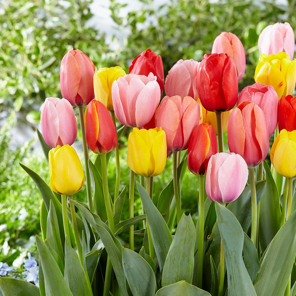 red, yellow and pink tulips